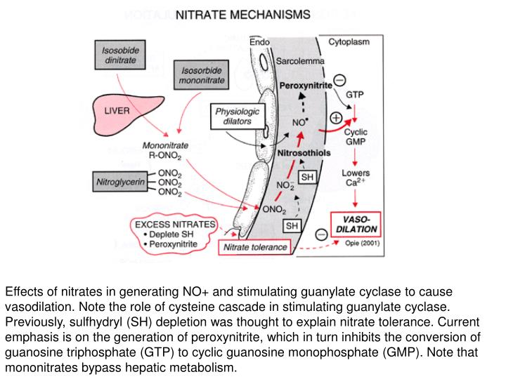 Effects of nitrates in generating NO+ and stimulating guanylate cyclase to cause vasodilation. Note the role of cysteine cascade in stimulating guanylate cyclase. Previously, sulfhydryl (SH) depletion was thought to explain nitrate tolerance. Current emphasis is on the generation of peroxynitrite, which in turn inhibits the conversion of guanosine triphosphate (GTP) to cyclic guanosine monophosphate (GMP). Note that mononitrates bypass hepatic metabolism.