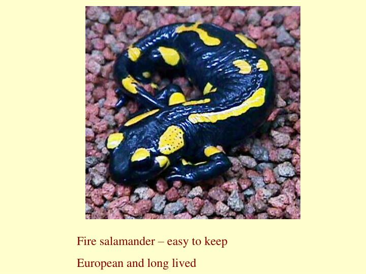 Fire salamander – easy to keep