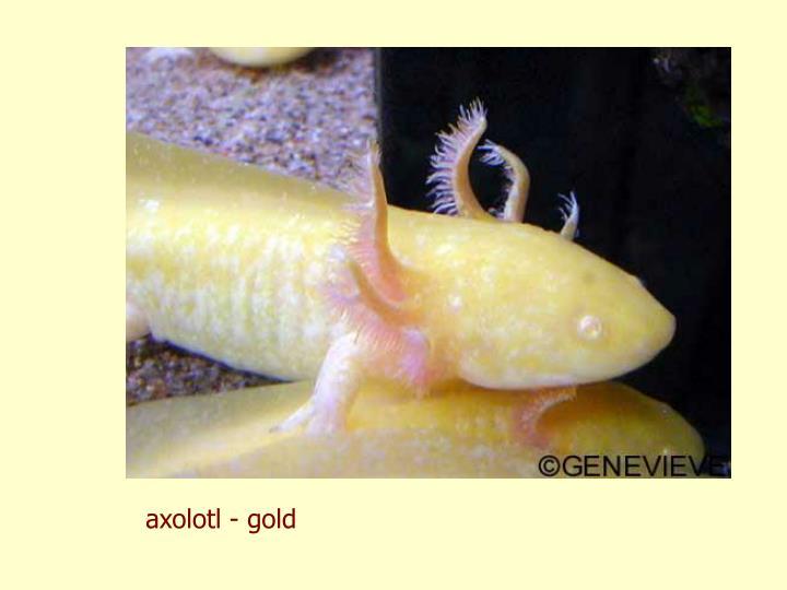 axolotl - gold