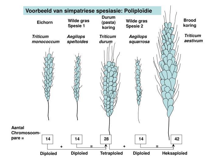 Voorbeeld van simpatriese spesiasie: Poliplo