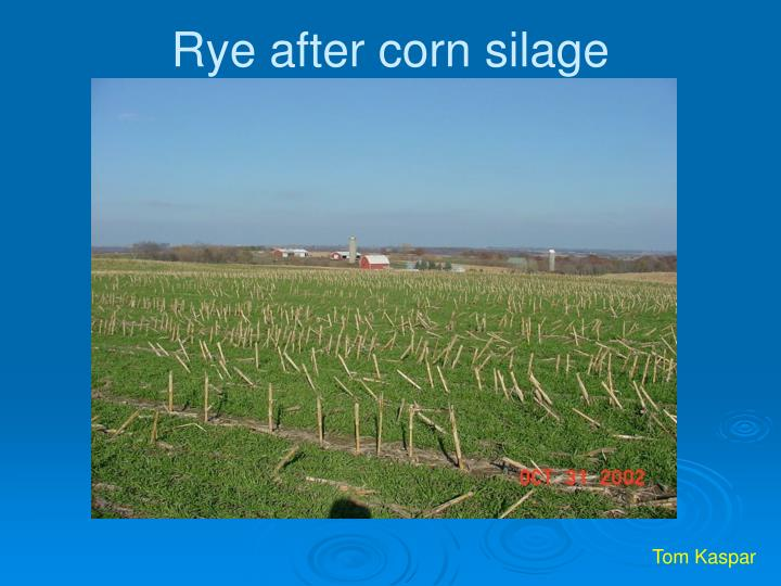 Rye after corn silage