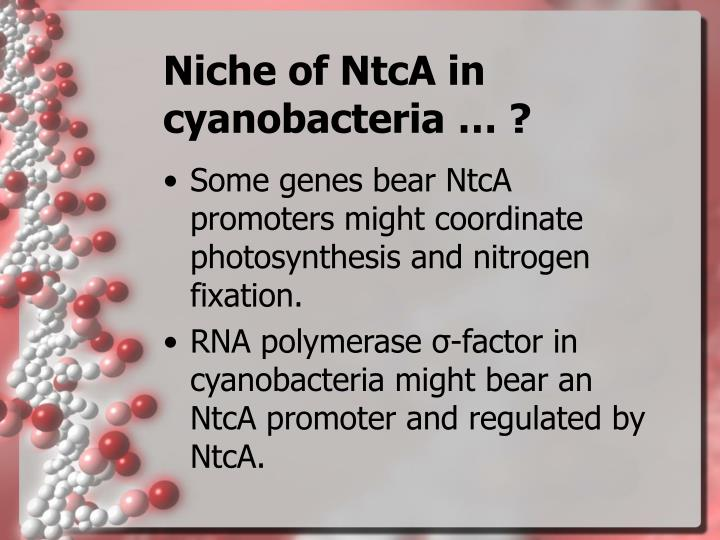 Niche of NtcA in cyanobacteria … ?