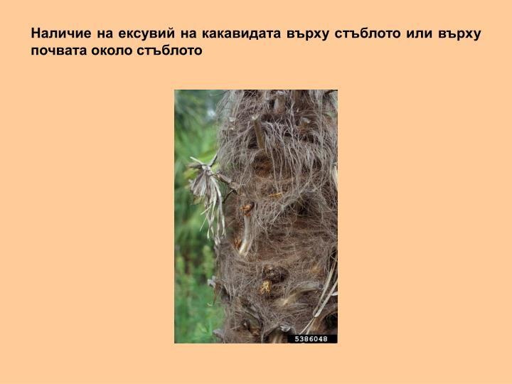 Наличие на ексувий на какавидата върху стъблото или върху почвата около стъблото