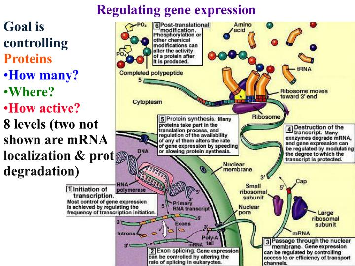 Regulating gene expression