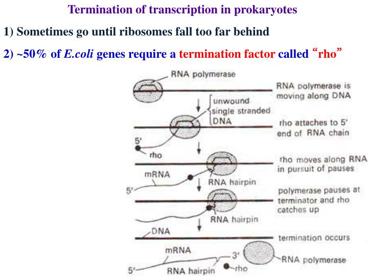 Termination of transcription in prokaryotes