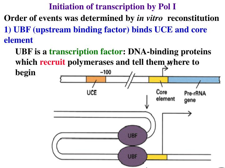 Initiation of transcription by Pol I