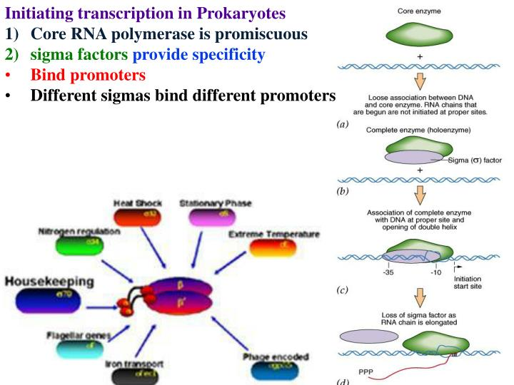 Initiating transcription in Prokaryotes