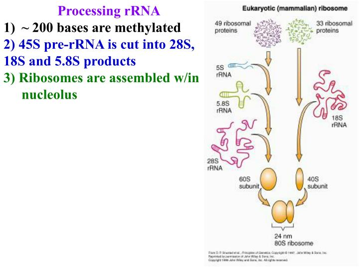 Processing rRNA