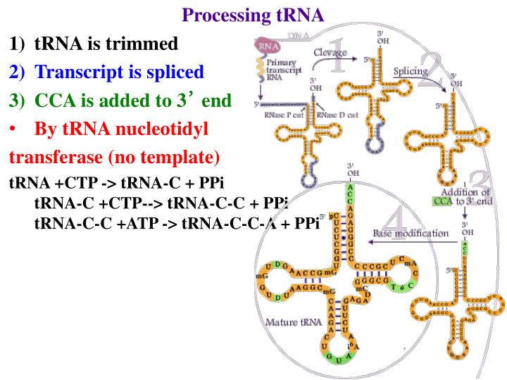 Processing tRNA