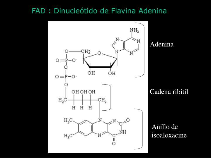 FAD : Dinucleótido de Flavina Adenina