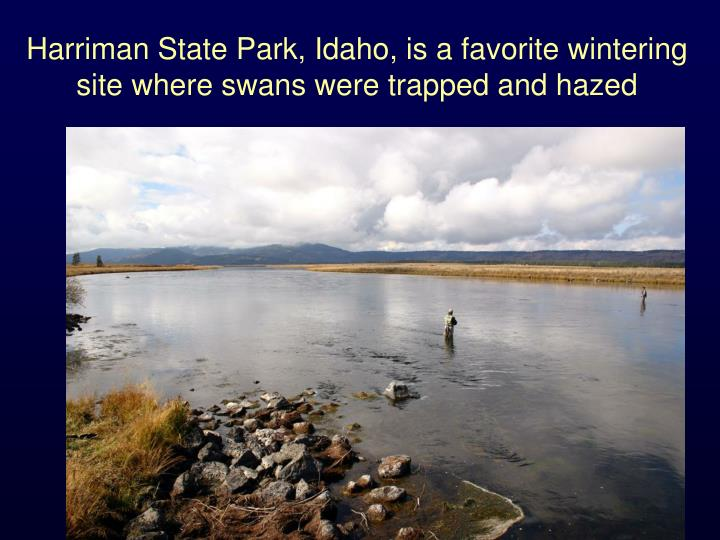 Harriman State Park, Idaho, is a favorite wintering site where swans were trapped and hazed