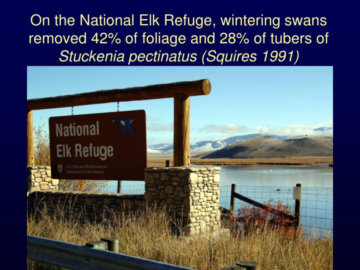 On the National Elk Refuge, wintering swans removed 42% of foliage and 28% of tubers of