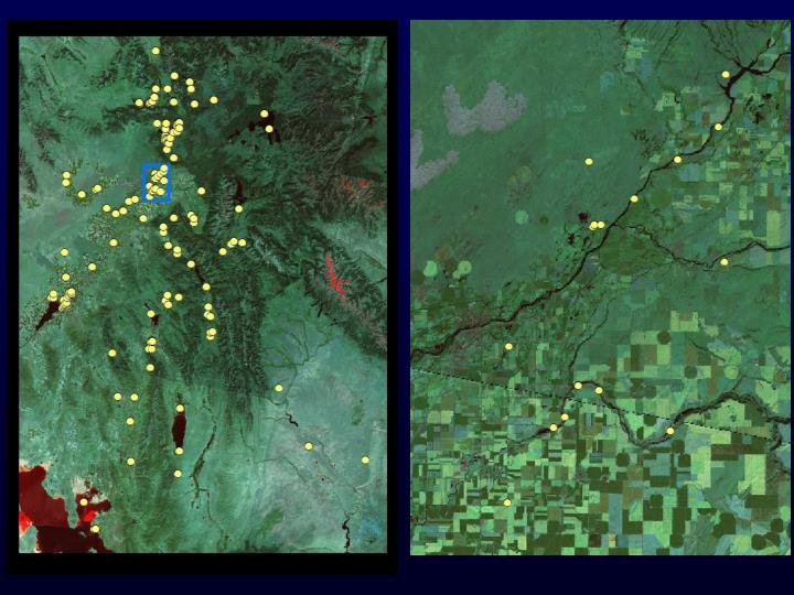 Yellow dots each represent from 1 to several hundred neck band sightings during winter (Nov-Feb)