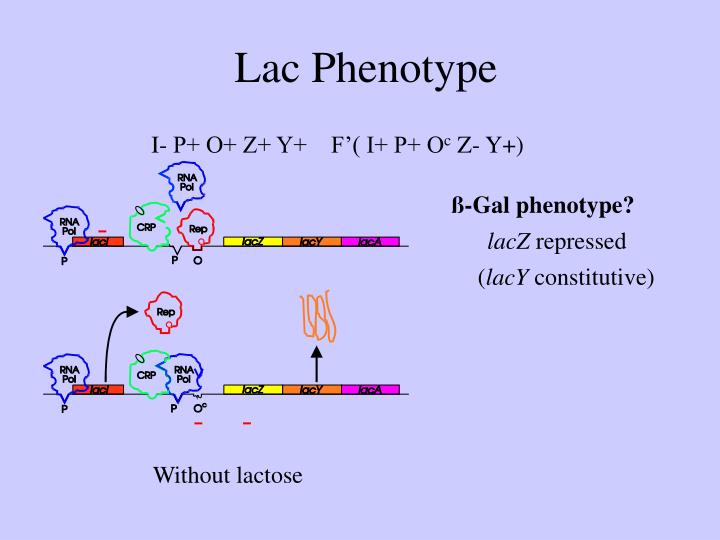 Lac Phenotype