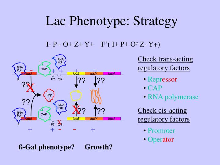 Lac Phenotype: Strategy