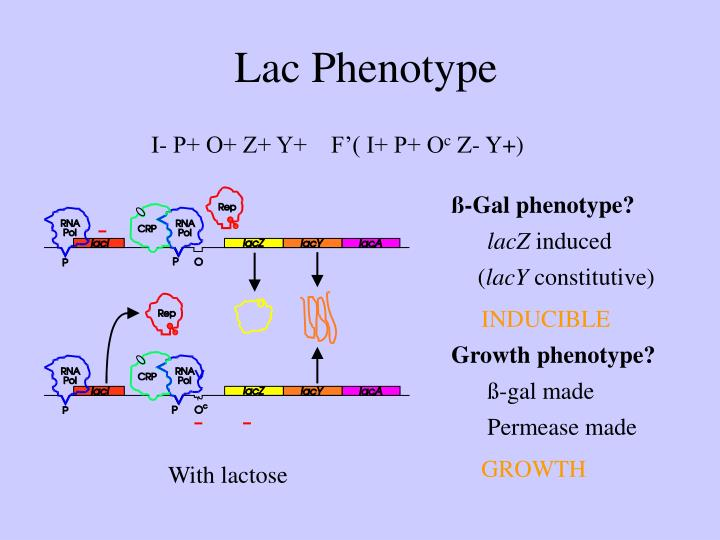 Lac Phenotype