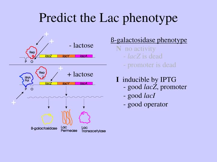 Predict the Lac phenotype
