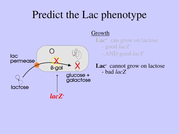 Predict the Lac phenotype