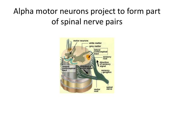 Alpha motor neurons project to form part of spinal nerve pairs