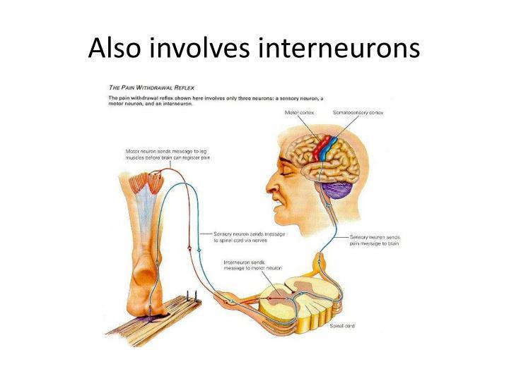 Also involves interneurons