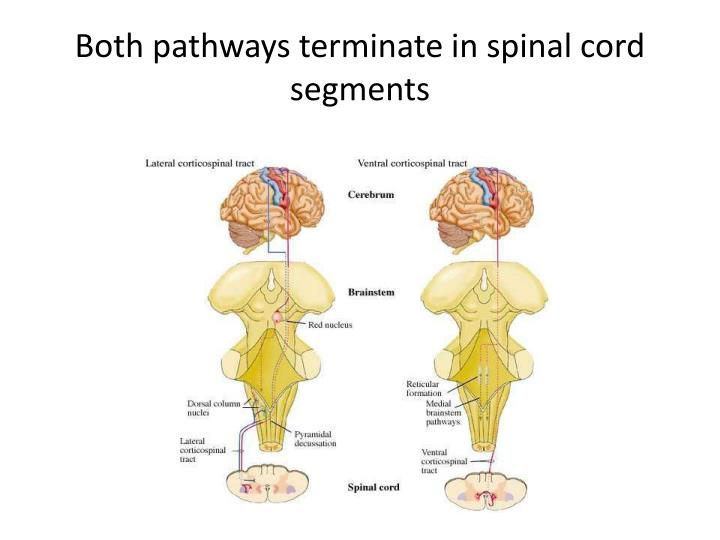 Both pathways terminate in spinal cord segments