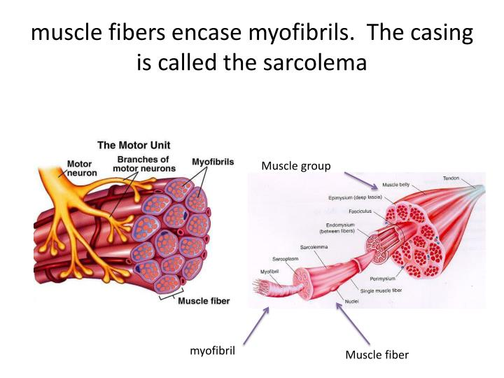 muscle fibers encase myofibrils.  The casing is called the sarcolema