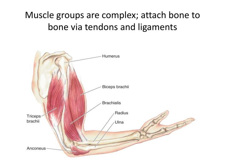 Muscle groups are complex; attach bone to bone via tendons and ligaments