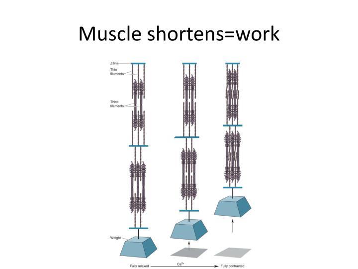 Muscle shortens=work