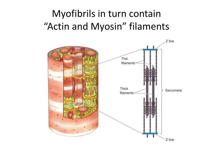 Myofibrils in turn contain