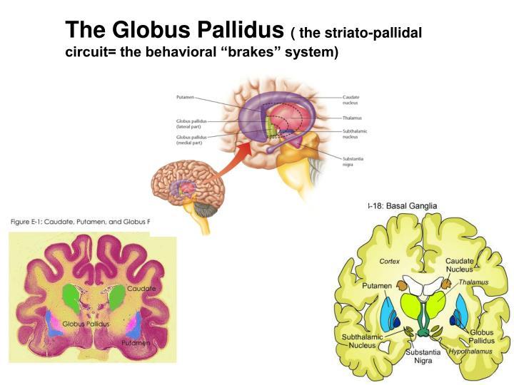 The Globus Pallidus