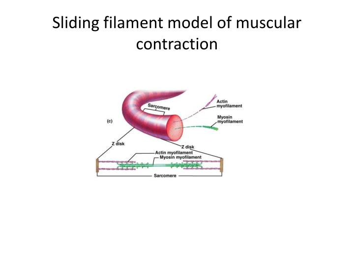 Sliding filament model of muscular contraction