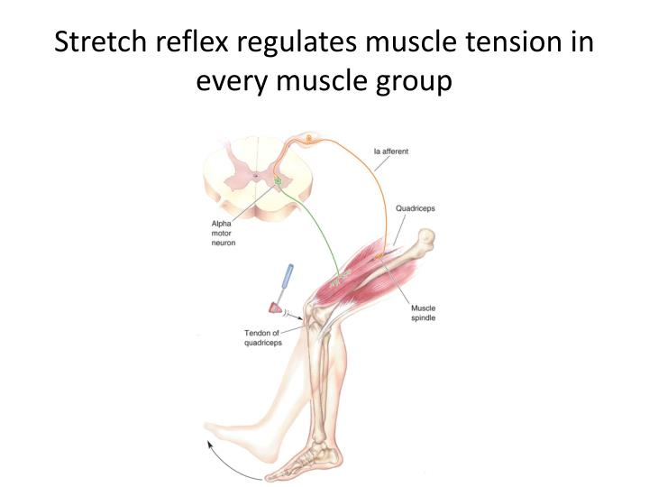 Stretch reflex regulates muscle tension in every muscle group