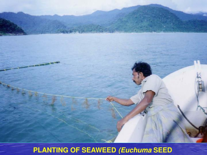 PLANTING OF SEAWEED