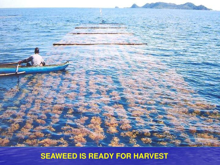 SEAWEED IS READY FOR HARVEST