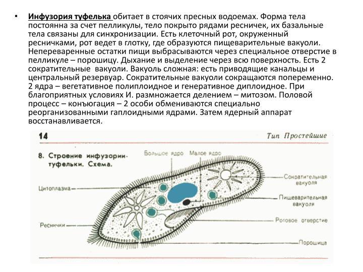 Гаплоидное ядро имеет инфузория туфелька