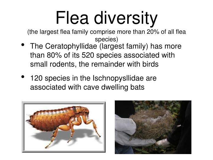 Flea diversity