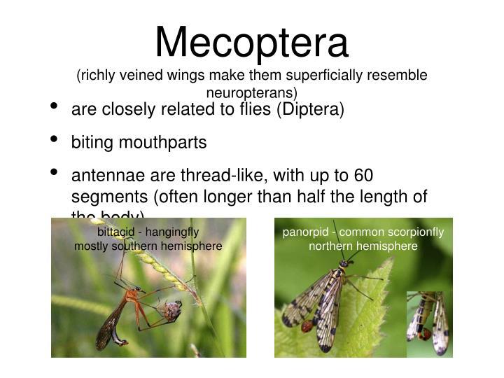 bittacid - hangingfly
