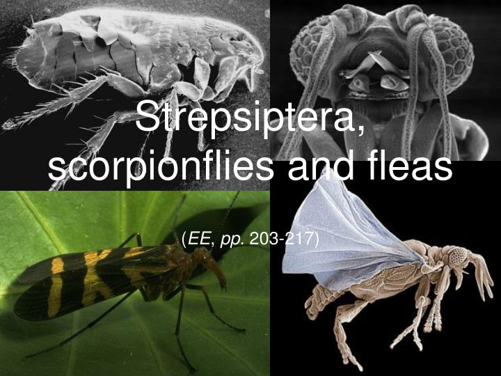 Strepsiptera scorpionflies and fleas