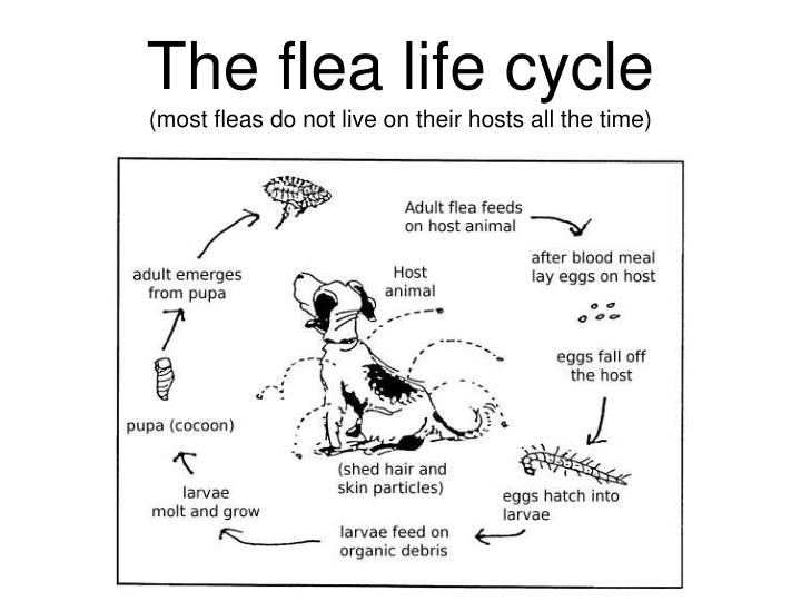 The flea life cycle