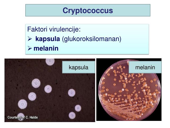 Cryptococcus