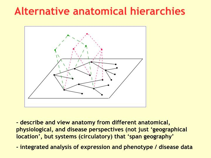 Alternative anatomical hierarchies