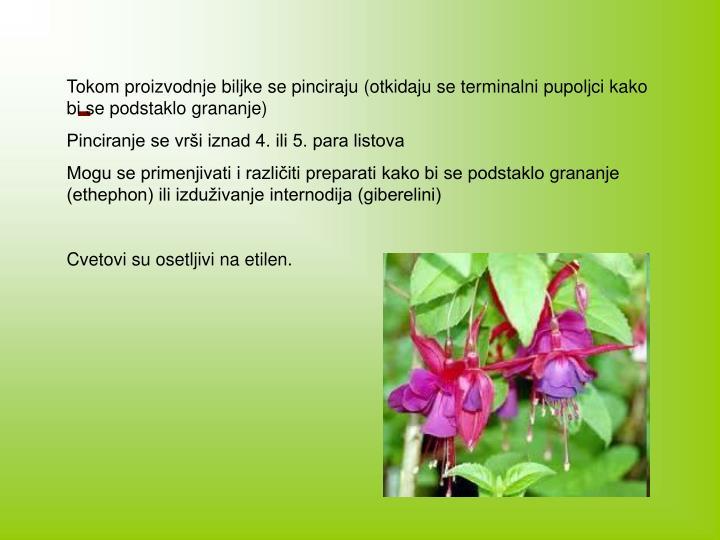 Tokom proizvodnje biljke se pinciraju (otkidaju se terminalni pupoljci kako bi se podstaklo grananje)