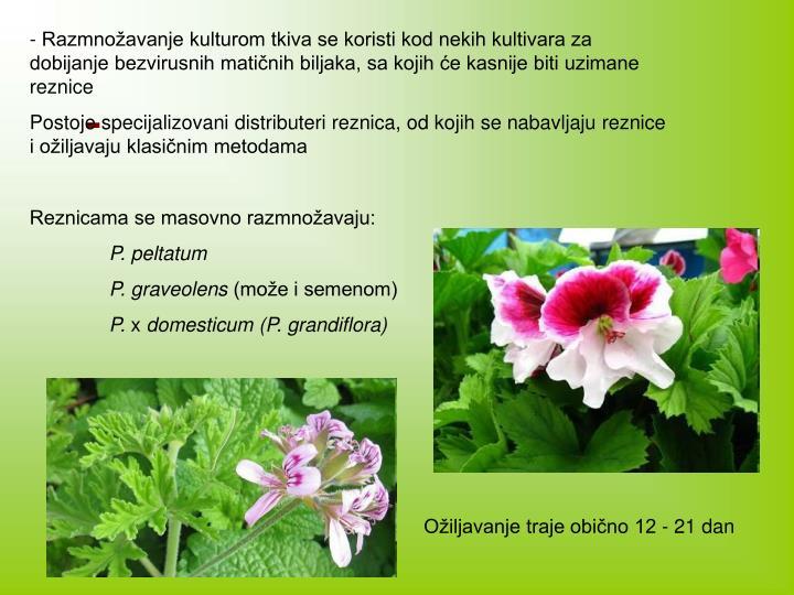 - Razmnožavanje kulturom tkiva se koristi kod nekih kultivara za dobijanje bezvirusnih matičnih biljaka, sa kojih će kasnije biti uzimane reznice