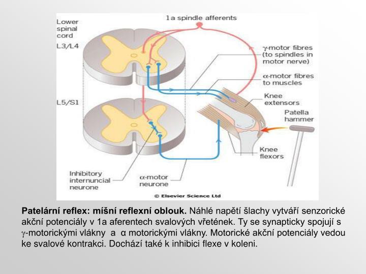 Patelární reflex: míšní reflexní oblouk.
