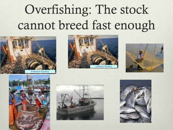 Overfishing: The stock cannot breed fast enough