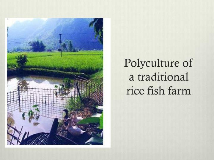 Polyculture of a traditional rice fish farm