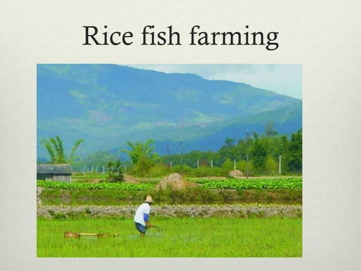 Rice fish farming
