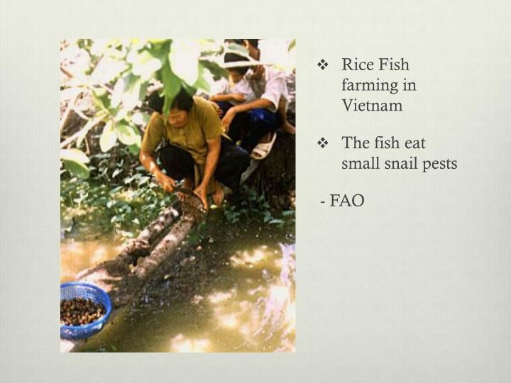 Rice Fish farming in Vietnam