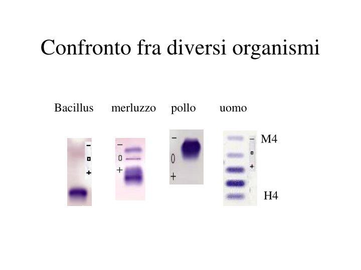Bacillusmerluzzo     pollouomo