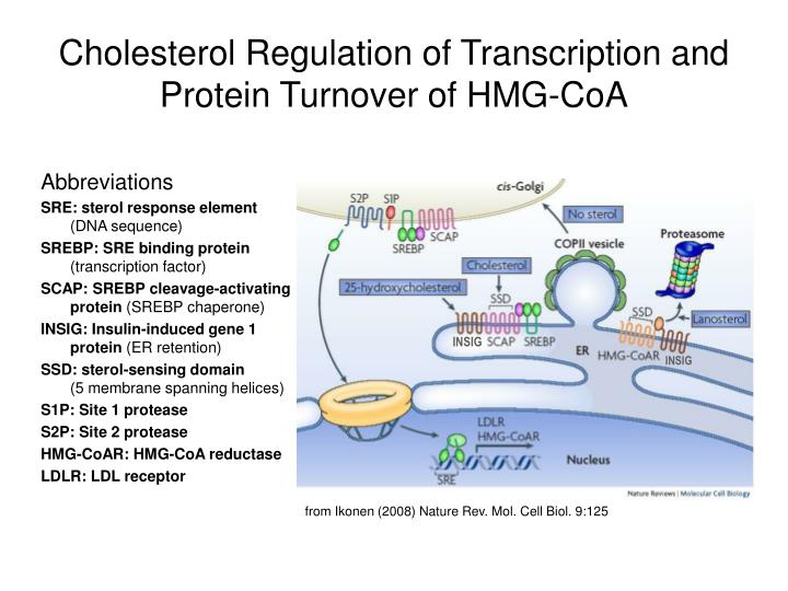 Cholesterol Regulation of Transcription and Protein Turnover of HMG-CoA